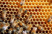 Bees on honeycomb eating honey — Stock Photo