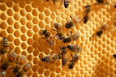 Bees on honeycomb eating honey — Stok fotoğraf