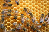 Bees on honeycomb eating honey — Stockfoto