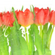 Blurred tulips isolated on white background — Stock Photo
