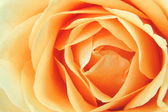 Close-up of a rose — Stock Photo