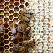 Bees on honeycomb — Stock Photo #22787302