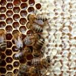 Bees on honeycomb — Stock Photo