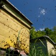 Stock Photo: Swarm of bees in apiary
