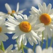 Beautiful chamomile flowers against blue sky — Stock Photo