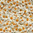 Beautiful carpet made of plenty of flowers of chamomiles — Stock Photo #22788986