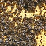 Bees on honeycomb — Stock Photo #22789258