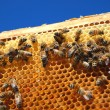 Bees on honeycomb frame - Stock Photo