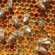 Bees on honeycomb - Foto de Stock