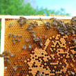 Bees on honeycomb frame - 图库照片