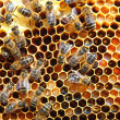 Bees on honeycomb - Lizenzfreies Foto