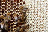 Bees on honeycomb — Photo