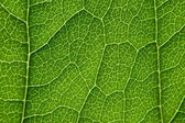 Structure of a leaf — Stock Photo