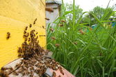 A swarm of bees is settling a beehive — Stock Photo