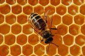 Bee on honeycomb — Stockfoto