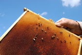 Bees on honeycomb frame — Stock fotografie
