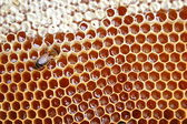 Bee on honeycomb — Stock fotografie