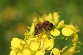 Bee on a mustard flower — Stock Photo