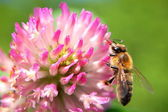Bee on clover flower — Stock Photo