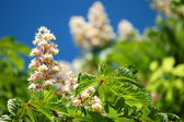 Blooming chestnut tree in springtime — Stock Photo