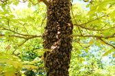 Rój pszczół na dąb — Zdjęcie stockowe