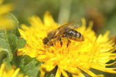Bee on dandelion flower — Stock Photo