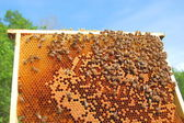 Bees on honeycomb frame — ストック写真