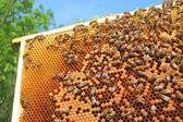 Bees on honeycomb frame — Foto de Stock