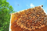 Bees on honeycomb frame — Foto Stock
