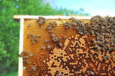Bees on honeycomb frame — 图库照片