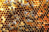 Bees on honeycomb — Foto Stock