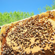 Royalty-Free Stock Photo: Bees on honeycomb frame