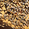 Bees on honeycomb - Stock fotografie