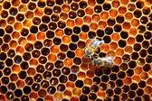 Пчелы на сотовый — Стоковое фото