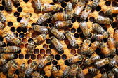 Bees on honeycomb — 图库照片