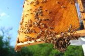 Pszczoły na ramie o strukturze plastra miodu — Zdjęcie stockowe