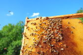 Bees on honeycomb frame — Stockfoto