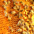 Bees on honeycomb frame - Foto de Stock