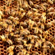 Bees on honeycomb frame - Foto Stock