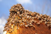 Bees on honeycomb frame against blue sky — Foto Stock