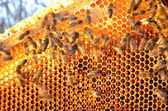 Bees on honeycomb frame against blue sky in the springtime — Foto Stock