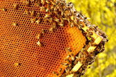 Bees on honeycomb frame against blue sky in the springtime — Stock fotografie