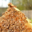 Bees on honeycomb frame — Stock Photo