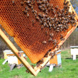 Bees on honeycomb in apiary in the springtime - 