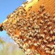 Bees on honeycomb frame against blue sky - Foto de Stock