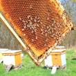 Bees on honeycomb in apiary in the springtime - Foto de Stock