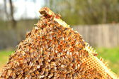Bees on honeycomb frame — Photo