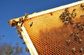 Bees on honeycomb frame against blue sky — Stockfoto