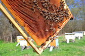 Bees on honeycomb in apiary in the springtime — ストック写真