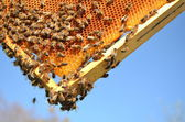 Bees on honeycomb frame against blue sky — Stock Photo